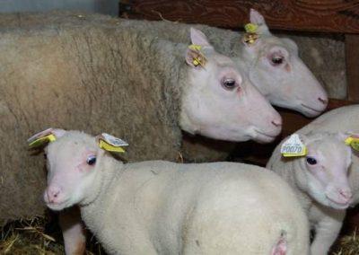 Brebis charmoise avec leurs agneaux