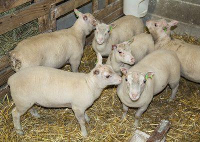 Agnelles et agneaux charmoise