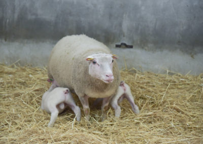 Brebis Charmoise avec ses agneaux