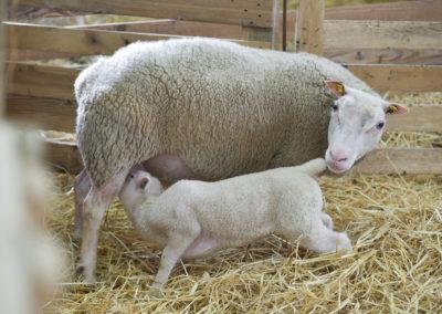 Brebis Charmoise et son agneau